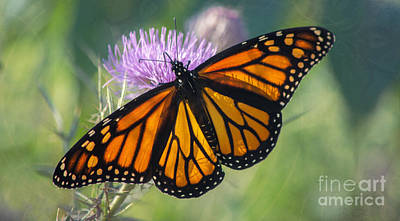 Photograph - Monarch's Beauty by Rima Biswas