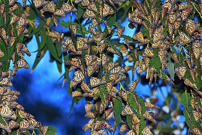 Photograph - Monarchs by Beth Sargent