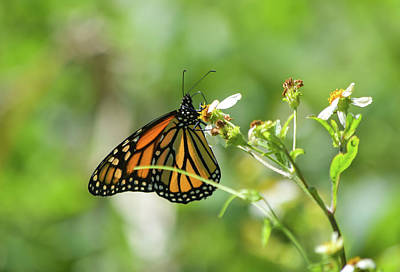 Photograph - Monarchs Bring Joy by William Tasker