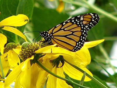Photograph - Monarchs Gold by David Dunham