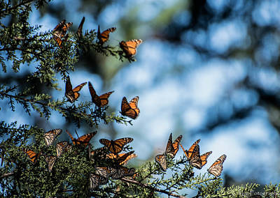 Monarchs In The Tree Art Print