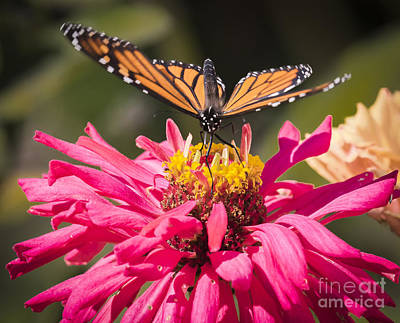 Photograph - Monarch On The Last Days Of Summer by Ricky L Jones