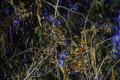 Pismo Beach Photograph - Monarchs Wintering by Garry Gay