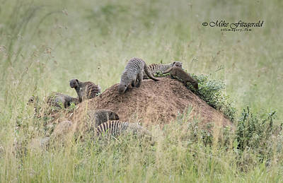 Photograph - Mongoose Mound by Mike Fitzgerald