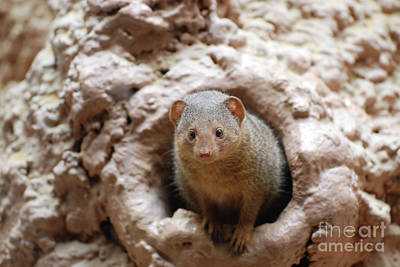 Photograph - Mongoose Peaking Out Of A Burrow by DejaVu Designs