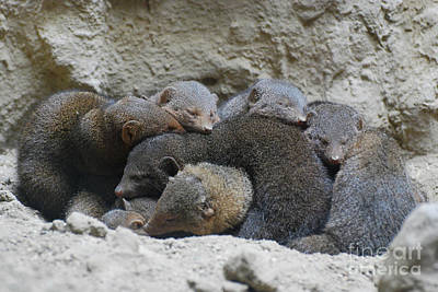 Photograph - Mongooses Huddled Together For Warmth by DejaVu Designs