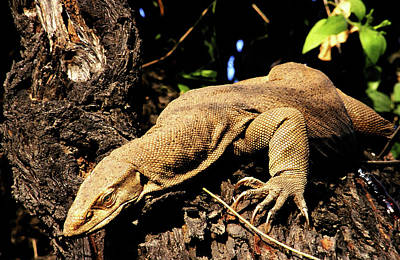 Photograph - Monitor Lizard by Manjot Singh Sachdeva