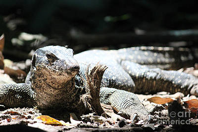 Photograph - Monitor Lizard by Wilko Van de Kamp