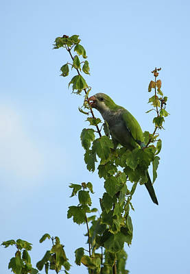 Quaker Parrot Photograph - Monk Lick by William Tasker