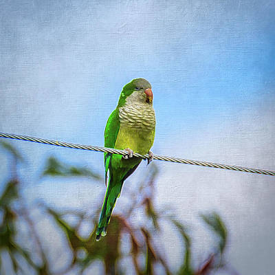 Photograph - Monk Parrot In Hidalgo Texas - Digitally Enhanced by Debra Martz