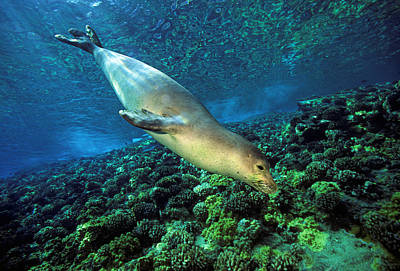 Sealife Art Photograph - Monk Seal Dive by Dave Fleetham - Printscapes