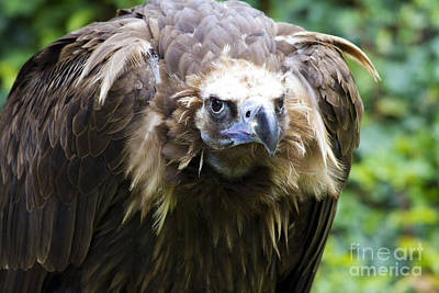 Vulture Photograph - Monk Vulture 3 by Heiko Koehrer-Wagner
