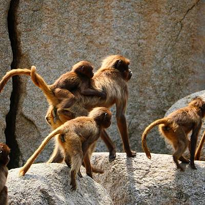 Animals Wall Art - Photograph - Monkey Family by Dennis Maier