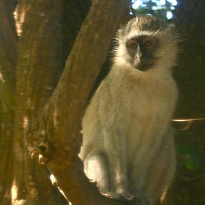 Photograph - Monkey In The Tree by Karen Zuk Rosenblatt