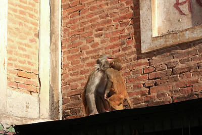Photograph - Kissing Monkeys  by Aidan Moran