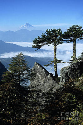 Monkey Puzzle Trees In Huerquehue National Park Art Print by James Brunker