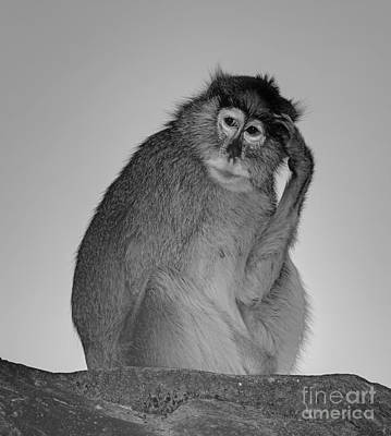 Animals Royalty-Free and Rights-Managed Images - Monkey Thinking by Marv Vandehey