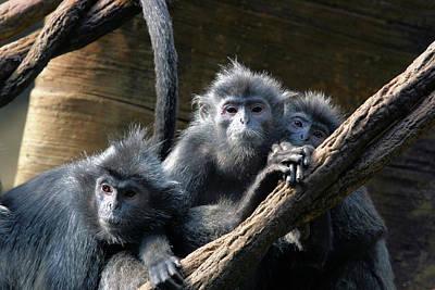 Monkey Trio Art Print by Karol Livote