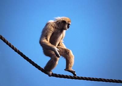 Monkey Walking On Rope Art Print by John Foxx