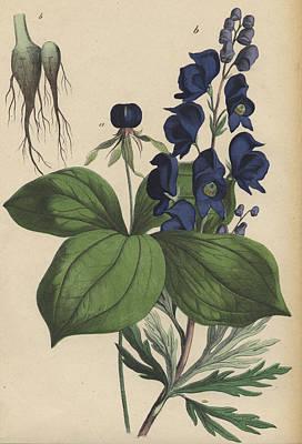 Monkshood Aconitum Art Print