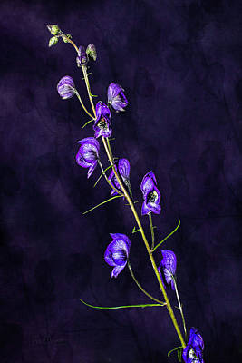 Photograph - Monkshood Version 2 by Fred Denner
