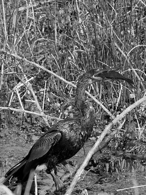 Photograph - Monochrome Anhinga And Fish  by Chris Mercer