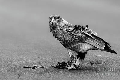 Monochrome Bateleur Eagle Feeding On Tortoise Art Print by Etienne Outram