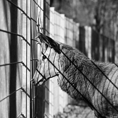 Animals Wall Art - Photograph - #monochrome #canon #cage #blackandwhite by Mandy Tabatt