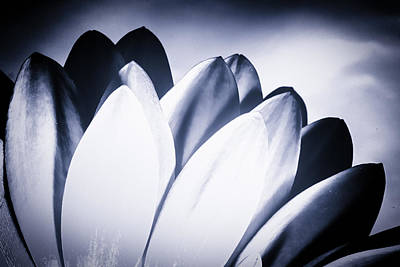 Photograph - Monochrome Chrysanthemum Petals by John Williams