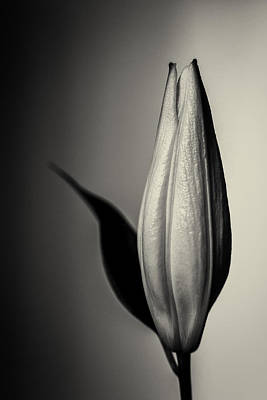 Photograph - Unopened White Lily Flower In Monochrome by John Williams