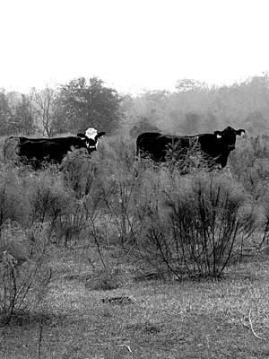 Photograph - Monochrome Cows In A Pasture  by Chris Mercer