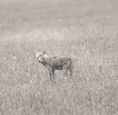 Photograph - Monochrome Coyote by Dan Sproul