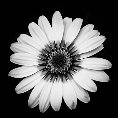 Photograph - Monochrome Daisy Square by Shelby Young