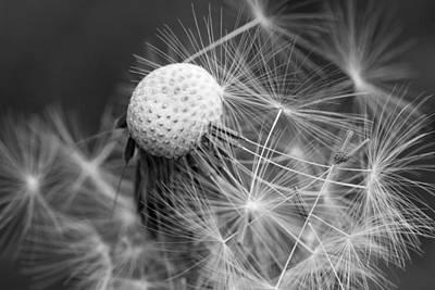 Botanic Photograph - Monochrome Dandelion Seed by Lise-Lotte Larsson