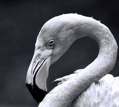 Photograph - Monochrome Flamingo by Dan Sproul