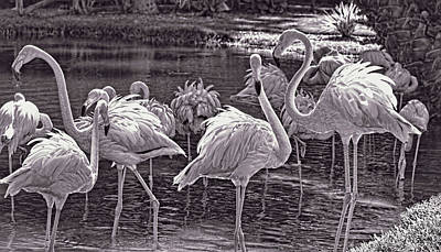Photograph - Monochrome Flamingos   by HH Photography of Florida