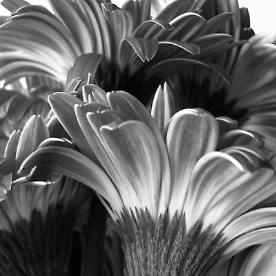 Photograph - Monochrome Gerbera Daisies Square by Tony Grider
