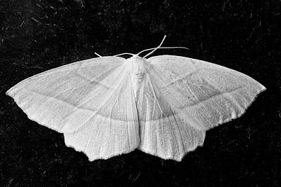 Insect Photograph - Monochrome Image Of Common White Wave Moth In Canada by Reimar Gaertner