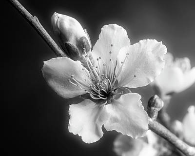 Photograph - Monochrome Peach Blooms 5535.01 by M K Miller