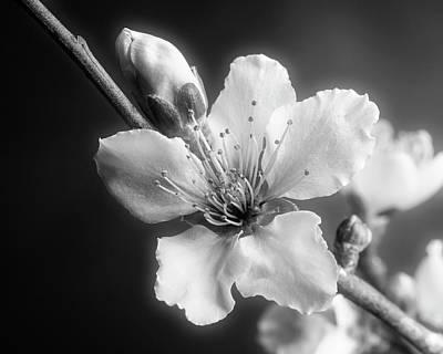 Monochrome Peach Blooms 5535.01 Art Print by M K  Miller