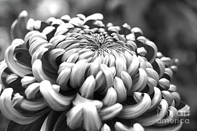 Photograph - Monochrome Petals by Mary Haber