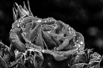 Photograph - Monochrome Rose After Rain by Leif Sohlman