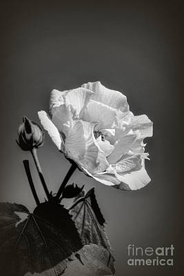 Photograph - Monochrome Rose Of Sharon by Elaine Teague