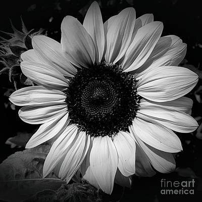 Photograph - Monochrome Sunflower by Chalet Roome-Rigdon