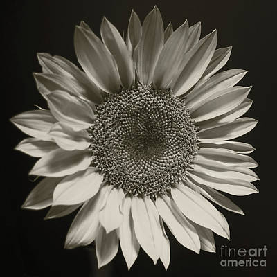 Photograph - Monochrome Sunflower by Kelly Holm