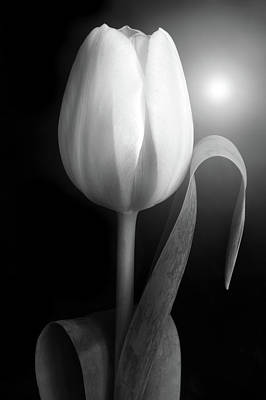 Photograph - Monochrome Tulip Portrait by Terence Davis
