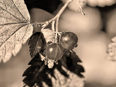Photograph - Monochrome Two Wild Goosberries by Leif Sohlman