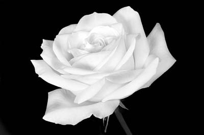 Photograph - Monochrome White Rose by Terence Davis