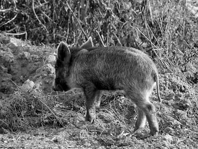 Photograph - Monochrome Wild Boar Piglet   by Chris Mercer