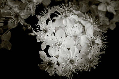 Photograph - Monochrome Wild Plum Blooms 5536.01 by M K Miller